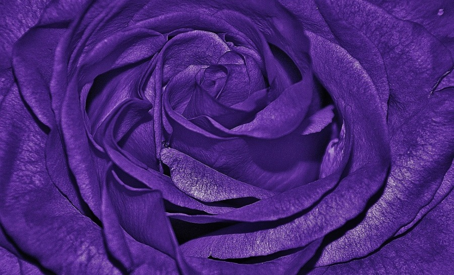 roses-320209_1280